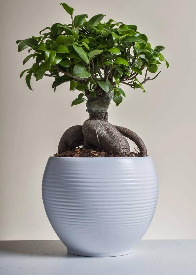 bonsaiginseng paganopiante