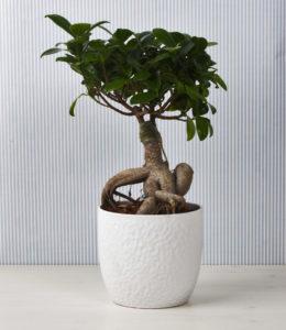 Paganopiante bonsai ficus ginseng
