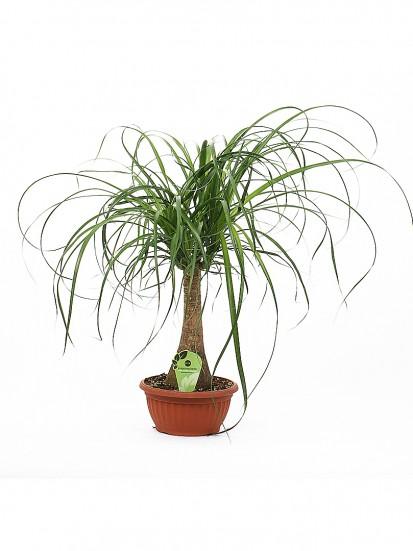 Beaucarnea pianta mangiafumo pianta ornamentale a lunga for Piante secche ornamentali