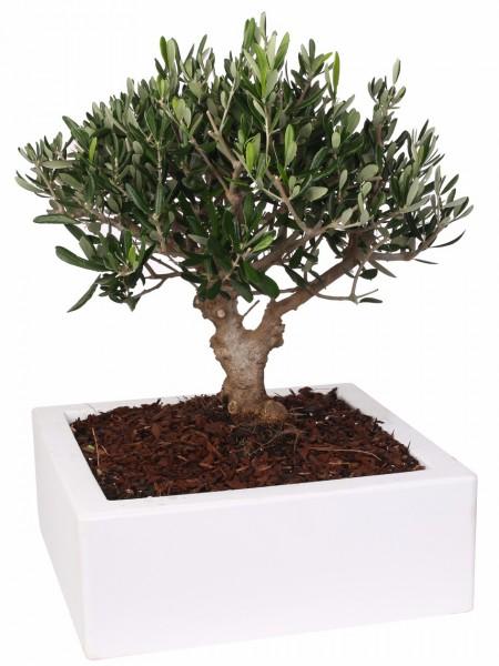 Bonsai da interno ed esterno la nuova collezione for Bonsai da interno