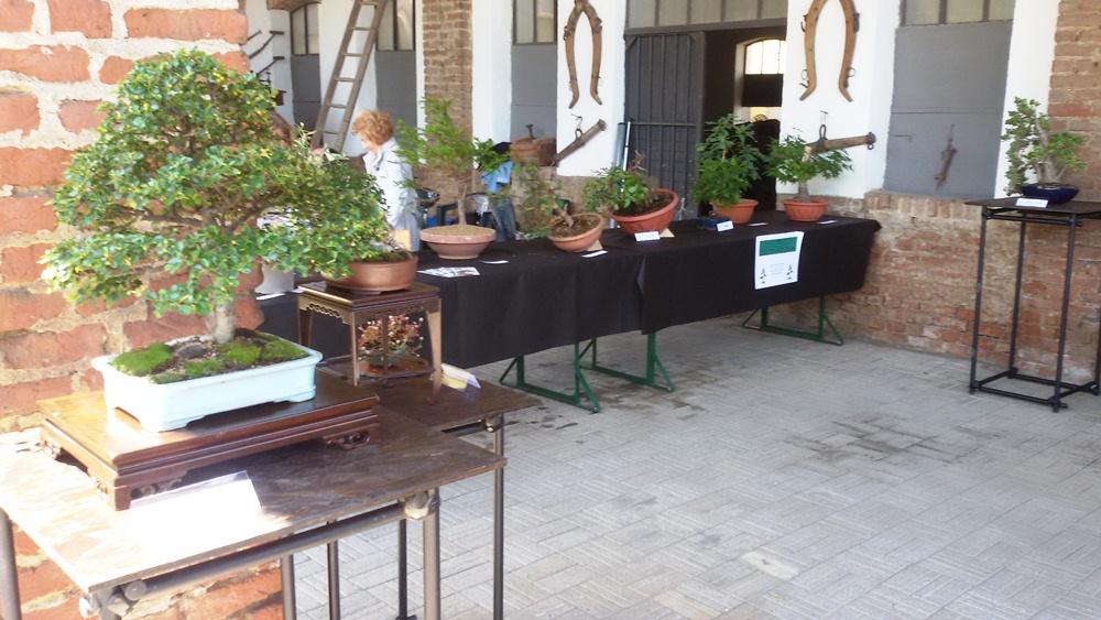 Bonsai ficus curare bonsai in inverno presidente di - Cura dei bonsai in casa ...
