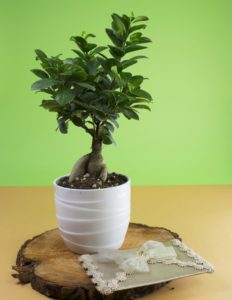 bonsai ficus come curarlo