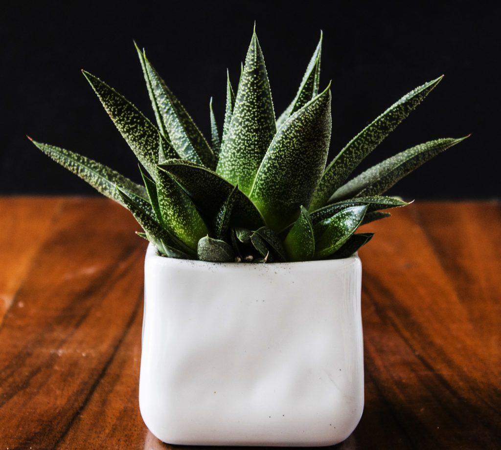 Succulente in inverno come curare le piante grasse con il for Curare le piante