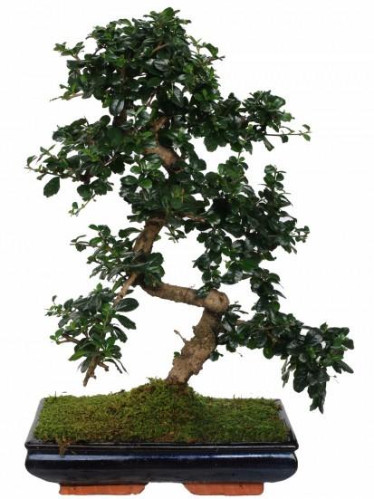 Cura dei bonsai pepper e carmona i consigli del maestro - Cura dei bonsai in casa ...