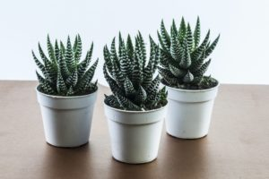 Piante Grasse Da Appartamento Quando Innaffiare.Innaffiare Le Piante Grasse Trucchi Per Irrigare Le Succulente In