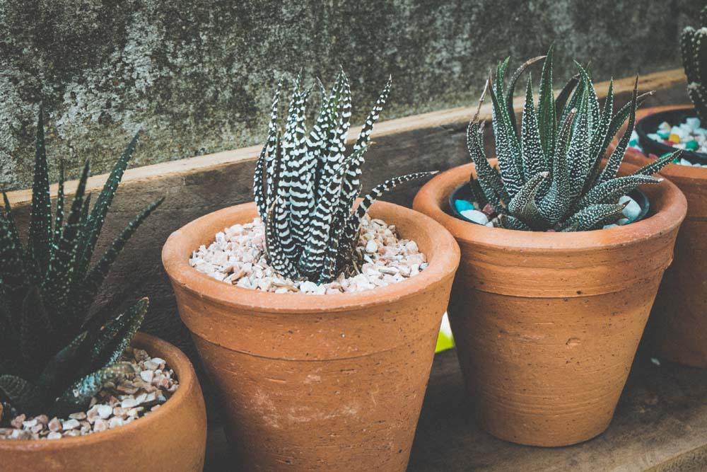 innaffiare le piante grasse